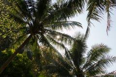 Zon glanzende throug luifels van kokospalmen binnen Stock Fotografie