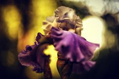 zon gloeiende iris Stock Foto