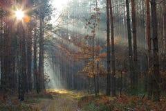 Zon in het bos Stock Foto