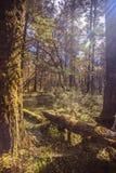Zon in het bos Stock Fotografie
