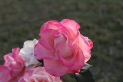 Zon het lichte nam vallen op roze met groen verlof toe stock foto