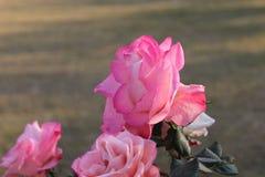 Zon het lichte nam vallen op roze met groen verlof toe stock fotografie