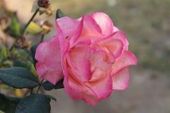 Zon het lichte nam vallen op roze met groen verlof toe royalty-vrije stock foto's