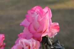 Zon het lichte nam vallen op roze met groen verlof toe royalty-vrije stock fotografie