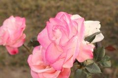 Zon het lichte nam vallen op roze met groen verlof toe royalty-vrije stock afbeeldingen