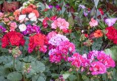 Zon- pelargon ( Pelarganium hortorum) blommor They' beträffande i olika färger royaltyfri fotografi