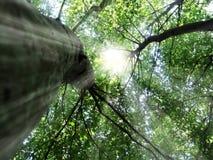 Zon in treetop Stock Afbeeldingen