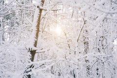 Zon tussen bomen met sneeuw worden behandeld die royalty-vrije stock foto