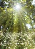 Zona della margherita nella foresta Immagini Stock Libere da Diritti