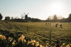 Zona rural en Dinamarca con el lightmill y la manada de ovejas Imagen de archivo