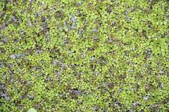 Zona umida della palude che fa galleggiare pianta verde Immagine Stock Libera da Diritti