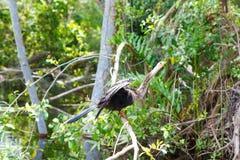 Zona umida di Florida, giro del Airboat al parco nazionale dei terreni paludosi in U.S.A. Fotografia Stock