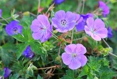 Zonal geranium. Close up image of zonal geranium flowers Stock Photos