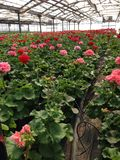 Zonal geranium grown in the greenhouse. Greenhouse for growing zonal geranium Royalty Free Stock Image