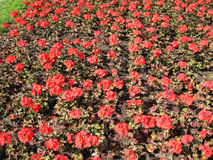Zonal Pelargonium (Pelargonium zonale). Geranium family Royalty Free Stock Image