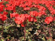 Zonal Pelargonium (Pelargonium zonale) Royalty Free Stock Image