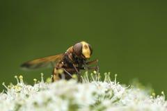 Zonaria di Volucella, mimo del calabrone hoverfly, fotografia stock libera da diritti