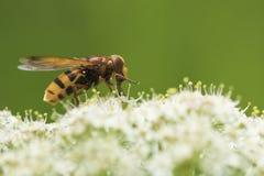 Zonaria di Volucella, mimo del calabrone hoverfly, fotografie stock libere da diritti