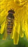 Zonaria syrphus ribesii  eristalis Royalty Free Stock Photo