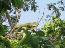 Zonas tropicales exóticas Asia Tailandia Tailandia de los reptiles de la iguana Imagenes de archivo