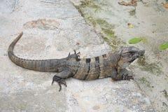 Zonas tropicales exóticas salvajes México de los reptiles de la iguana Foto de archivo