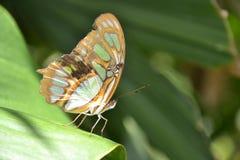 Zonas tropicales macras Yucatán México de los insectos de la mariposa Fotos de archivo