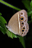 zonata mycalesis Стоковая Фотография