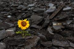Zonbloem die door breken stock fotografie