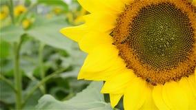 Zonbloem met honingbijen die dicht uitwerken stock video