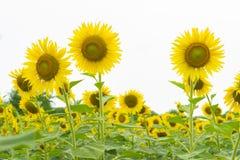 3 zonbloem op het gebied Stock Afbeelding