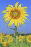 Zonbloem tegen blauwe hemel Royalty-vrije Stock Fotografie