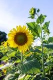 Zonbloem tegen een blauwe hemel, Thailand Royalty-vrije Stock Foto