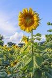 Zonbloem tegen een blauwe hemel, Thailand Royalty-vrije Stock Foto's