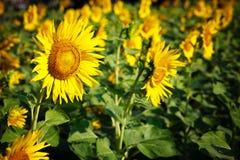 Zonbloem in tuin Stock Afbeeldingen