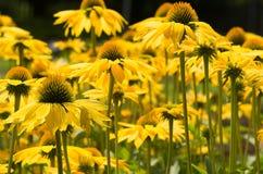 Zonbloemen in de Tuin Royalty-vrije Stock Foto's