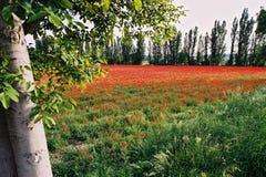 Zone 2 de pavots Photographie stock libre de droits