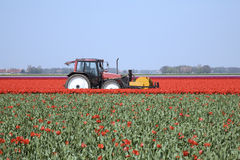 Zone 22 de tulipe Photo stock