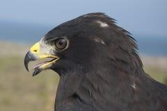 Zone - angebundener Falke Lizenzfreies Stockfoto