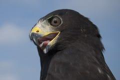 Zone - angebundener Falke Lizenzfreie Stockbilder