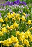 Zone avec des fleurs d'iris Photographie stock libre de droits