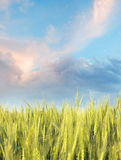 Zone blonde comme les blés pendant le matin avec le ciel bleu Photographie stock libre de droits