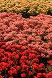 Zone colorée des fleurs Photographie stock libre de droits
