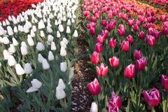 Zone colorée des tulipes images stock