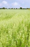 Zone d'avoine, août image stock