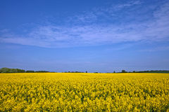 Zone d'or de Canola Photos stock