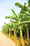 Zone de banane images libres de droits