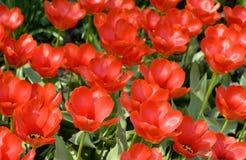 Zone de belles tulipes rouges Photo libre de droits
