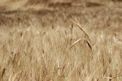 Zone de blé Photos stock