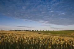 Zone de blé Images stock