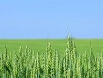 Zone de blé. Photos libres de droits